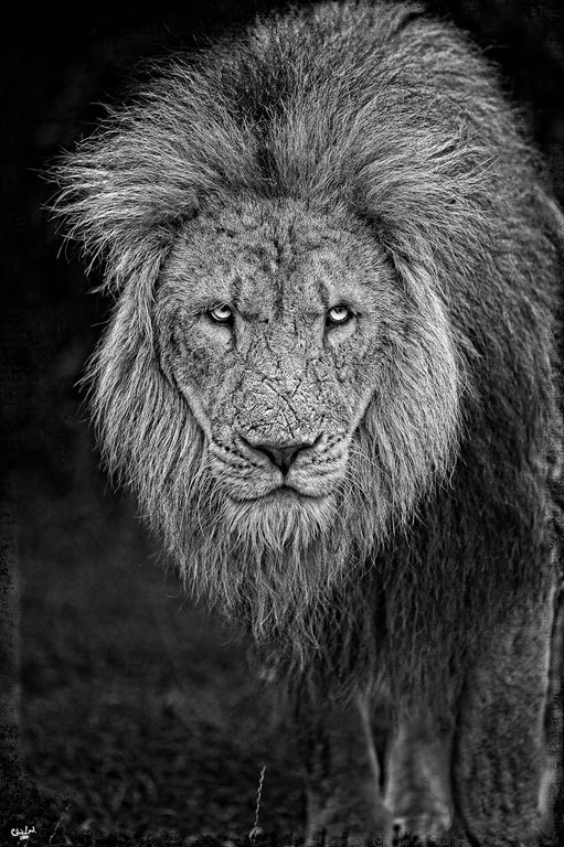 Defeated King. An epic story can be told just by reading the scars of this male African lion--needless to say, an alpha male.