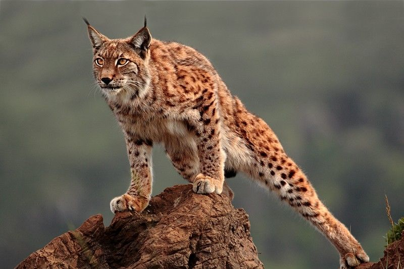The lynx is an excellent predator. Their habitats include North America, Western, Central, and Eastern Europe, Western, Central, and Eastern Asia. Basically, most of the northern hemisphere of the planet.