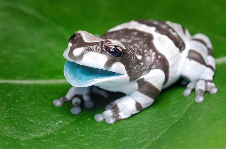 This is a Milk Frog; native to the Amazon Rainforest.
