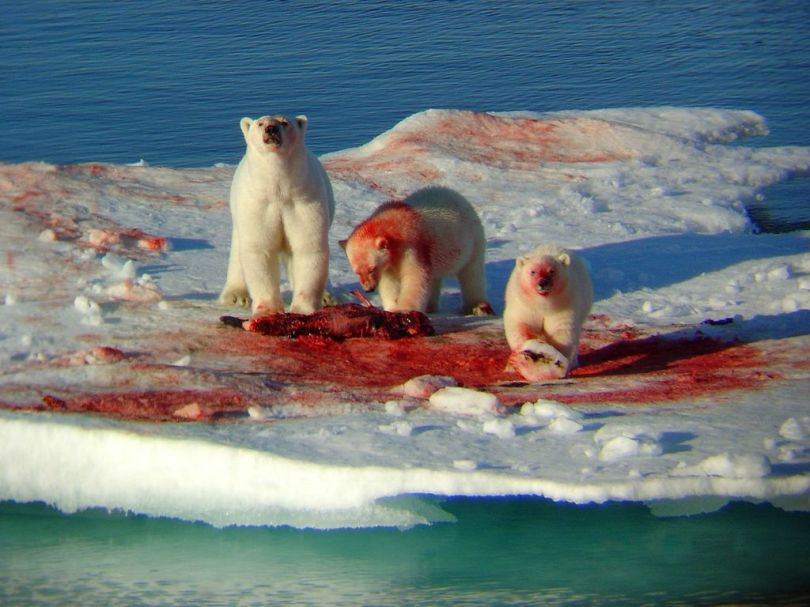 Polar bears at a family picnic.