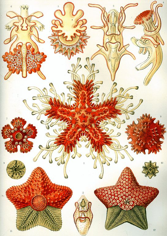 Image by Ernst Haeckel (1834 - 1919). Kunstformen der Natur (Art Forms of Nature). Asteridea is the subclass of echinoderms that includes sea stars. While slow moving, they are high-level predators and feed on other invertebrates, including mollusks and barnacles>