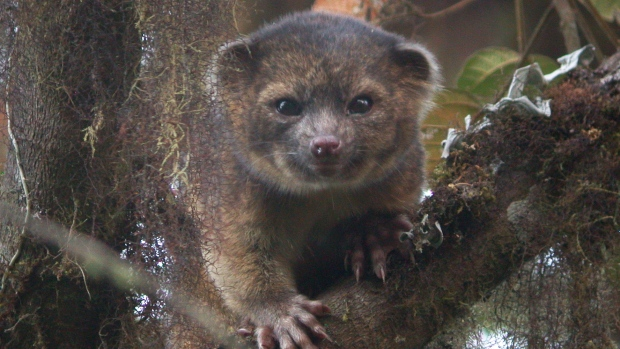 The discovery of a new mammal is a rare and exciting event in Biology.