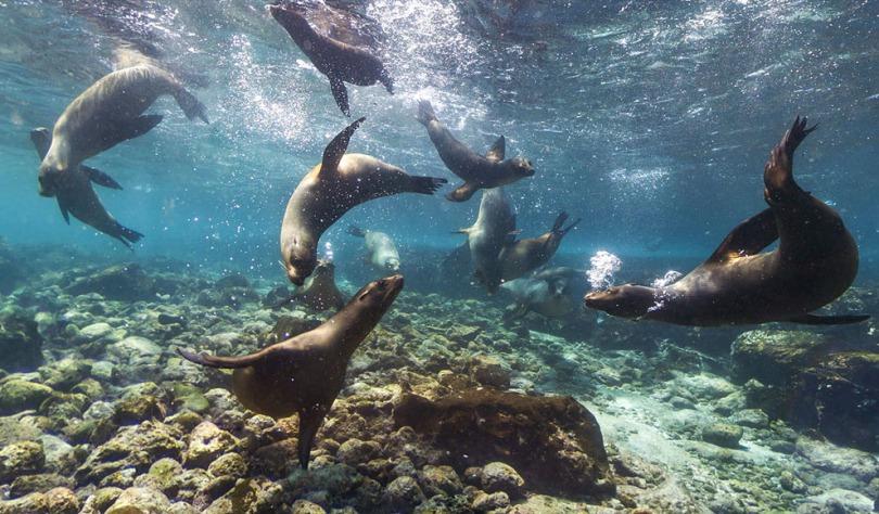 Galápagos sea lions.