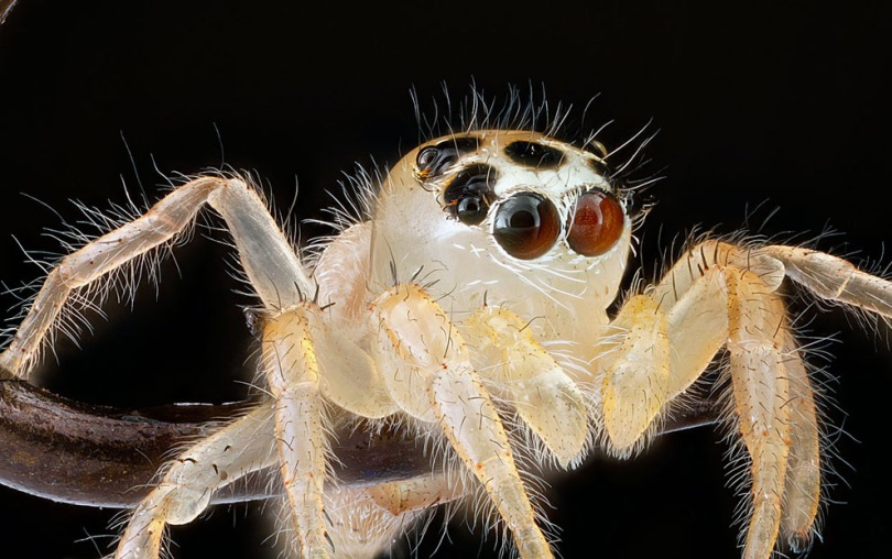A jumping spider is easily recognizable by the pattern of its eyes.
