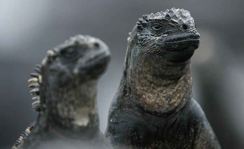 Maine Iguanas