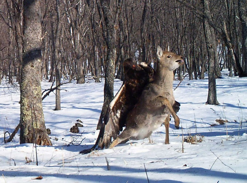 "A good title for this picture could be 'Serendipity'. Pure chance allowed the capture of this magnificent and rare image: ""Remote cameras set up to track Siberian tigers in Russia caught the golden eagle attack on a sika deer, snapping three photos as the massive bird dug its talons into the distressed animal's back."""