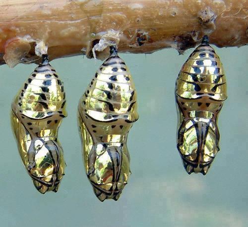 Metallic chrysalis