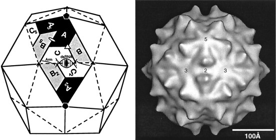 """Schematic diagram (left) and cryoreconstruction (right) of the ssRNA insect virus FHV (family Nodaviridae). The capsid of FHV consists of 180 copies of a single subunit arranged with T=3 icosahedral symmetry.""--Via."