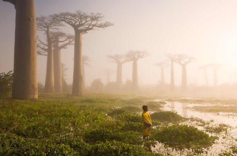 These are baobabs trees in a forest in Madagascar--part of Africa, and a huge island. Some of the trees are over 1,000 years old.