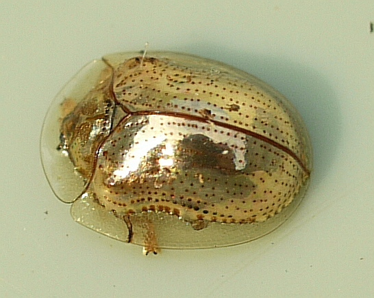 Charidotella sexpunctata. This arthropod has an exoskeleton made out of chitin