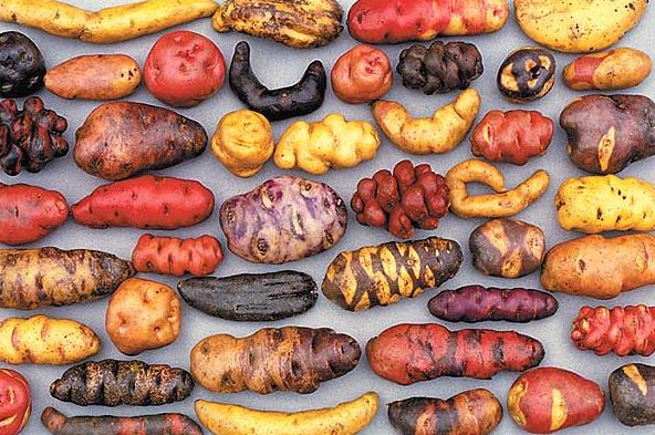 Potatoes saved the life of hundreds of thousands of Irish people during the XIX century; they've become part of the global diet, but, like many other foods with widespread use, potatoes come from America. This image shows a small sample of the 5,000 varieties of potatoes that exist in Peru.