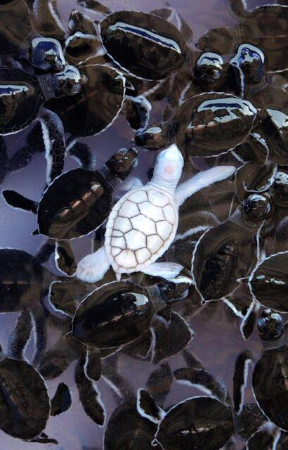 Evolution Albino turtle